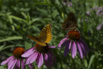 Butterflies on Echinacea